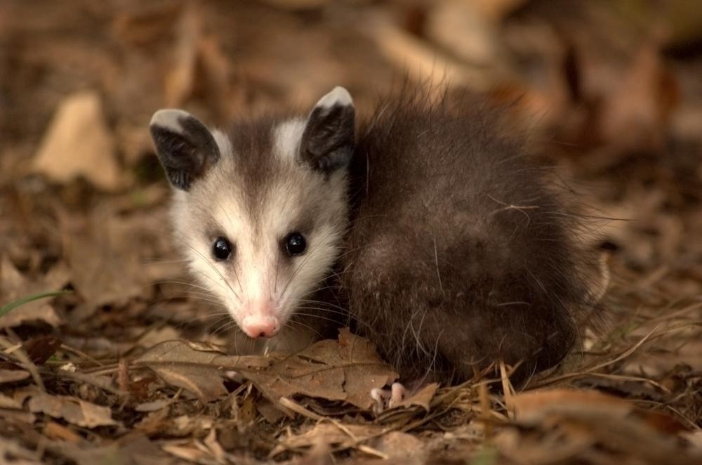 Young_Virginia_Opossum.jpg